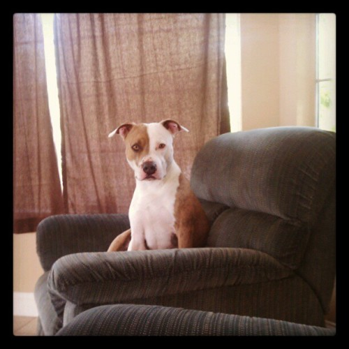 """This my chair, bitch"" #pitbull #dog #cute (Taken with instagram)"