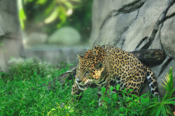 Many have seen the video of the jaguar (Panthera onca) ingesting ayahuasca, a type of hallucinogenic. It's a very skeptical video, and at least one scene is undeniably set up, but jaguars have been known to ingest caapi leaves. The only thing is, they ingest these leaves just as often as any other plants. Various other fauna have been found doing this odd behavior, like servals and more commonly dogs. Being such large animals, the little bit that they consume does not have any hallucinogenic side effects to it, also known as being high. Since they're pure carnivores, it's clear that the rare times these big cats will eat plant matter is not out of hunger, but rather if they feel ill. Felines suffering from stomach irritations, such as gastritis, will eat vegetation to induce vomiting  and clear their digestive systems. Native tribes view the ingesting of ayahuasca a spiritual remedy that they have inherited from the jaguars. They believe the jaguars eat the hallucinogenic as a way of enhancing their predatory senses, which is why they will undergo meditation involving the plant's leaves. It is in hopes they will become one with the big cat, learning to be a great hunter and survivor. Photo credit: jwkeith