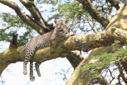 Being predators, it's commonly thought leopards (Panthera pardus) stay on the ground religiously. This couldn't be further from the truth, seeing as they're some of the best tree climbers in the big cat family. Trees provide not only a sanctuary for playing, eating, resting and even searching, but also act as a guard from enemies like lions, hyenas and wild dogs. Learning as young as 3 months old, a cub will climb trees to avoid attacks from various enemies, including those listed above. Soon, they learn it's also a haven for taking freshly made kills. Dragging prey by the neck, they'll use their powerful jaws and claws to relocate it into a tree. Hung over branches, the carcass can no longer be stolen by scavengers or other predators. Sometimes, leopards may even hunt from the tree, stalking their prey and waiting. Once it passes into the perfect location, the leopard will pounce onto it. This tactic is often used for monkeys and baboons. Any kills in the tree will be eaten over a few days.  Photo credit: safari-partners