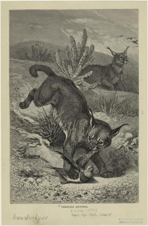 compendium-of-beasts:  Caracals hunting. (1894)  via NYPL