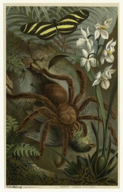 compendium-of-beasts: [Tarantula catching a bird.] (1885)   via NYPL