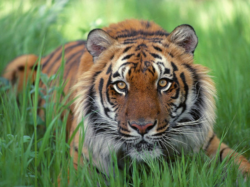 kingdom-of-animals:  tiger by bee happy123 on Flickr.