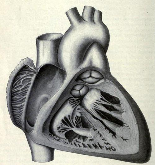 "biomedicalephemera:  Cross-section of human heart, displaying heart valves, chordae tendineae, and papillary muscles Have you ever heard the expression ""Tugging on your heart-strings""? Well, it's not completely metaphorical, at least in terminology. There are literally parts of your heart known colloquially as ""heart strings"", which have been described in an anatomical sense as far back as Vesalius.  These ""heart strings"" are more properly called chordae tendineae. You can see them in the illustration, looking like thin wires or netting within the ventricles. They  start at the atrioventricular heart valves (the bicuspid or mitral and the tricuspid), and connect to the papillary muscles near the apex of the heart. The collagenous structure of these strings imparts to them a high level of strength, and the papillary muscles combined with some elastin give a high level of flexibility. they're what keep your heart valves from everting (prolapsing) when the blood moves from the atria to the ventricles. See, the valves have no muscular structure of their own, but work because the pressure of the blood pushing against them makes them open and close taut. But if the chordae tendineae weren't there, that same pressure that makes sure they shut well also means that their fibrous structure would end up simply turning inside-out, and the blood would flow back into the atria, instead of to the lungs or the rest of the body. Insufficiency of the heart strings is one of many possible causes of mitral prolapse and valve insufficiency (leaky valves). Anatomy: Descriptive and Surgical. Henry Gray, 1900."