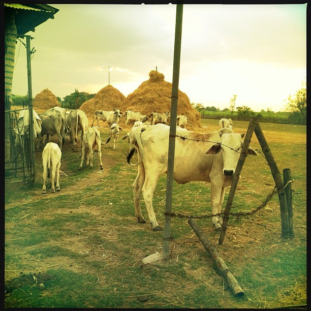 Holy Cows (Taken with Instagram at Joson Farm)