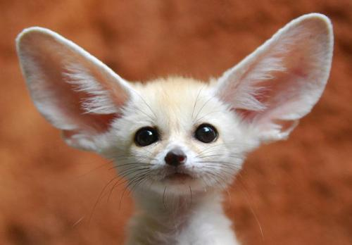 llbwwb:  Fennec Fox (photographed in the Everland Zoo, South Korea) by Flordiapfe