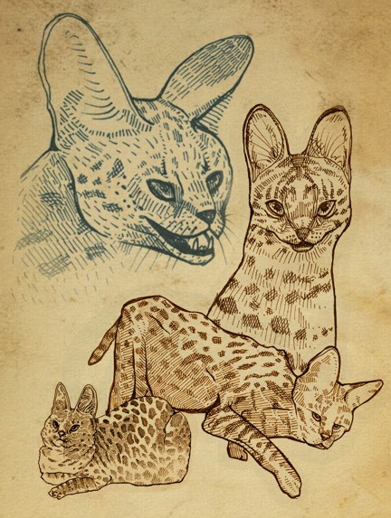from serval to savannah: an illustration of the wild cat to domestic pet. 2012. WIP