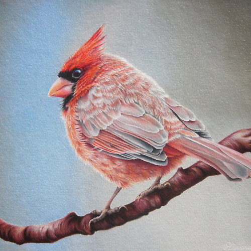 Cardinal on a cherry branch by lanadi Available as a print or card