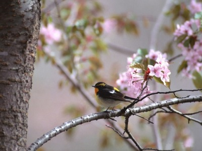 Bird, Flower and Tree. HD Wallpapers - I Like Wallpapers High-Definition Wallpapers For You. Welcome to ILikeWallpapers.com Find Your Favourite Wallpapers and Share Your Wallpapers. Thanks. ILikeWallpapers.com