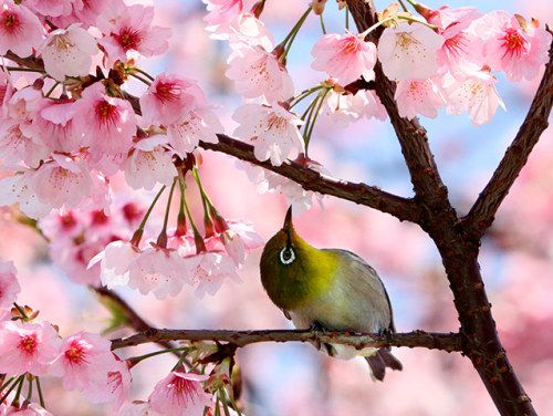 mabelmoments:  A bird sits on a branch of a blooming cherry tree at a park in Tokyo on 1 April 1. Cherry trees bloomed in Tokyo on 31 March, five days later than usual year, Japanese authorities announced. Photograph: Yoshikazu Tsuno/AFP/Getty Images