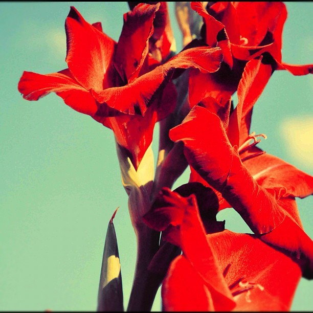 tealography:  #red #flowers #blue #sky #summer !