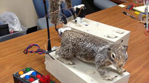 Beware of… Robo Squirrel Robot squirrel aids animal behavior study
