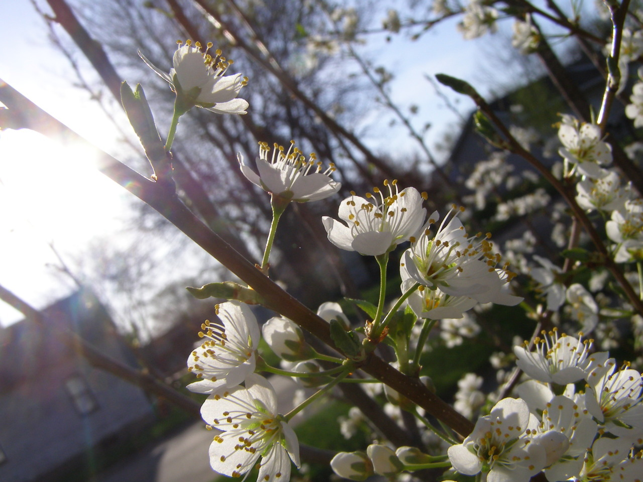 An early season for my plum blossoms.
