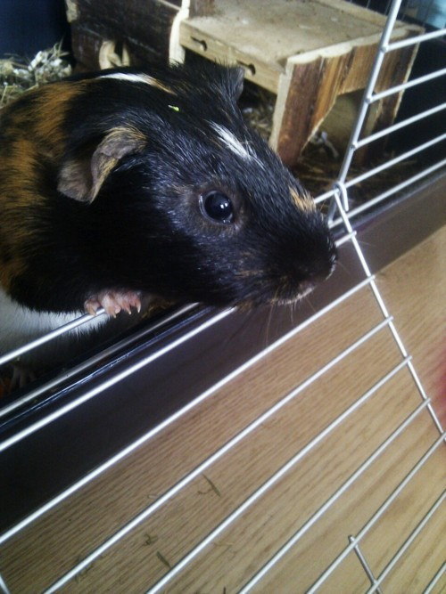 guineapiggies:  Button planning his great escape :) Submitted by shaniice1337  It's a piggie whose name is my last name and he is so cute!!!