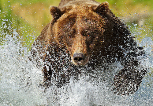 murmuranimals-photos:  Grizzly Bear fishing