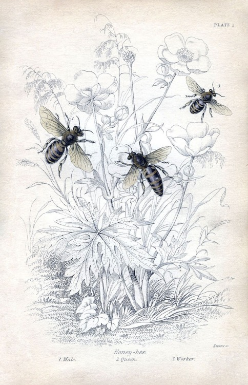 atelierentomologica:  Honey Bees, 1840's natural history illustration