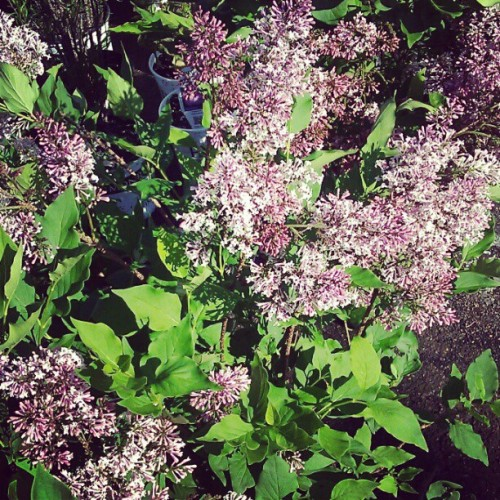 Miss Kim Korean Lilac (Taken with Instagram at Bates Nursery & Garden Center)