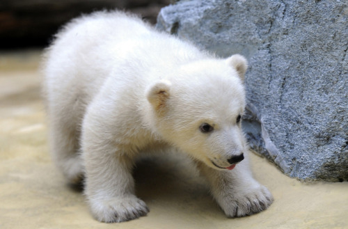mothernaturenetwork:  Photo of the day: Anori, half-sister of the late polar bear Knut, makes her debut.