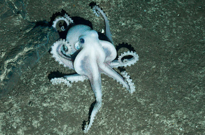 icantbelieveitsalawblog:  New Antarctic Life Discovered in the Deep  Scientists believe the albino octopus represents a new species of the eight-legged creature.© NERC CHESSO CONSORTIUM
