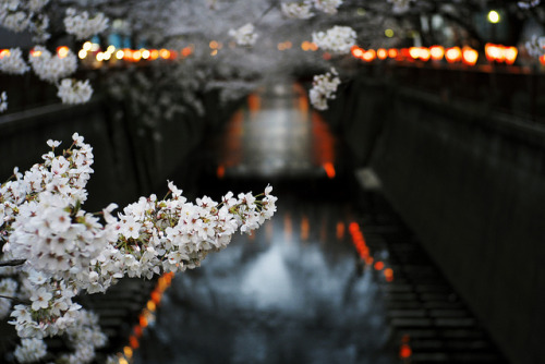 ileftmyheartintokyo:  Night Sakura by mrhayata on Flickr.