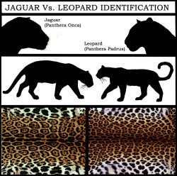 Jaguars (Panthera onca) and leopards (Panthera padrus) are often confused for each other. It's easy to see why, since their coats and bodies are nearly identical to each other. Key differences will allow you to differentiate one from the other. As with most animals with similar appearances, the biggest difference is location. Jaguars can be found are in South & Central America, Mexico, and very few parts of the United States. Leopards inhabit areas from China to India, all the way to the Middle East and Africa. Another key difference is appearance; jaguars are larger than leopards. Rosette spots on the fur are more tightly packed on the leopard's coat, along with each rosette being smaller in size. On the jaguar, they're widely distributed and have small spots in the center of each marking. Jaguars also have slightly more elongated faces, along with less tawny, fluffy fur on the bottom of their stomachs. Their fur is more sleek, staying smooth along most of the body. If the big cat is moving too fast to identify, chances are it's in hot pursuit of prey. The biggest difference in hunting is that leopards have the stereotypical big cat hunting technique. Huge canines sink into the jugular of an animal, suffocating it to death. Jaguars have developed their own brutal killing method, sinking their canines into the skull of an animal so that the skull is crushed to pieces. After making a kill, leopards tend to drag their prey up trees whereas jaguars just bring them to a secluded spot.