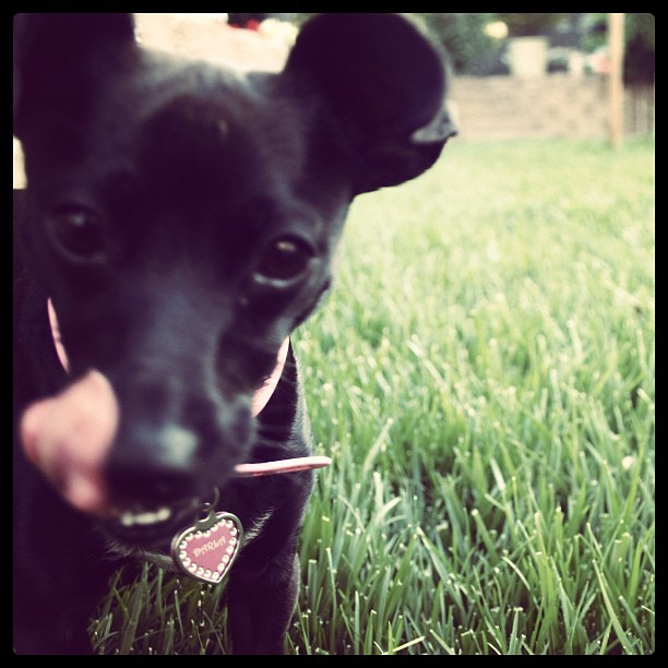 #darla #puppy #dog #grass #park #Sky #igerssf #green #black #nature #landscape #dog #pink #animal #istamood #picoftheday #pictureoftheday #photosoftheday #ig #usa #sanfrancisco #sf #city #art  (Taken with instagram)