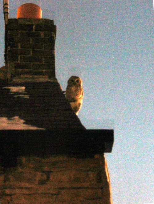 Owl at night outside my house