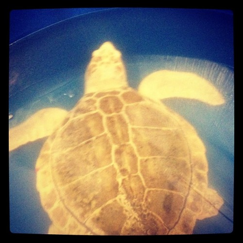 Hello Mr. Turtle… (checking out the sea turtle hospital at Topsail Island) (Taken with instagram)