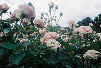 I have a love/hate relationship with roses. It's mostly the red ones.
