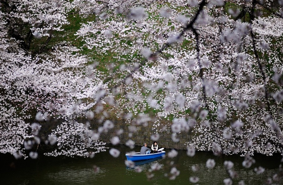 A couple in a boat passes beneath cherry blossom trees along Imperial Palace Chidorigafuchi moats in Tokyo, Japan, on April 6. The Japan Meteorological Agency announced that blossoms of cherry trees are fully bloomed in Tokyo. [Credit : Franck Robichon / EPA]