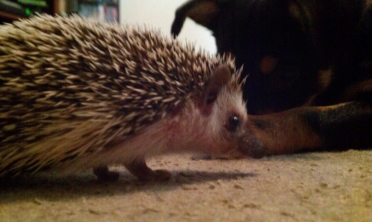 Hedgehog with the dog watching closely