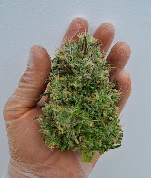 weedporndaily:  HIGHTIMES.COM > PIX OF THE CROP - 04.06.12