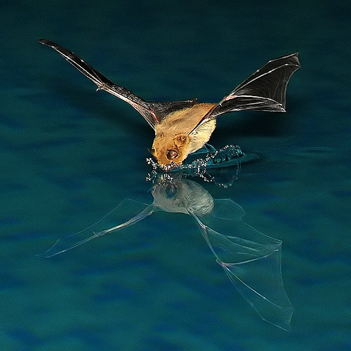 funkysafari:  Stunning capture of a bat getting a drink by 5348 Franco