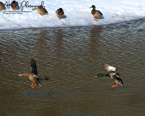 Ducks on the Chena River Fairbanks, AK