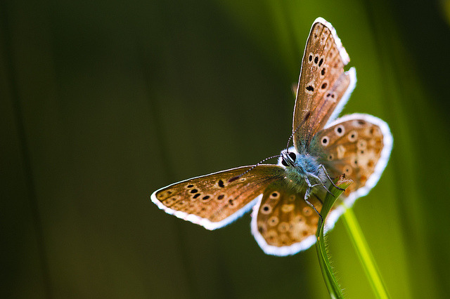 bellargus by stephan_amm on Flickr.