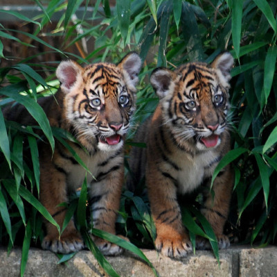 karla-world:  My tigers Stacey and Charlie <3