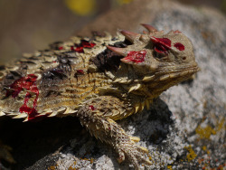This bloody mess of a horned lizard (genus Phyrnosoma) isn't in pain from an attack. Chances are he was feeling extremely threatened, and unleashed a defense mechanism nobody would see coming. The first thing this reptile does when threatened, besides camouflaging anyway, is to stay completely still. If the predator proceeds approach, they'll alternate between short bursts of running and abruptly stopping to confuse the attacker. If this isn't successful, they'll resort to swelling up a bit in size to appear larger and more 'horned.' If anything, it just makes them more intimidating and harder to swallow. When all else fails, they shock the threat by spurting blood out of their eyes. It's a grotesque tactic caused by thin-walled, blood-filled spaces called sinuses found within their eye sockets. In case of emergency, they'll cause blood pressure in their eyes to rise which, in turn, leads to the sinus walls breaking suddenly. Blood erupts from the eyes in a nicely aimed stream of crimson red, reaching up to 4 feet (1.2 meters). A distasteful chemical combined with multiple bursts of these streams is enough to deter any predator..Or unsuspecting human. A video of this reptile in action can be seen here.  Photo credit: randomtruth