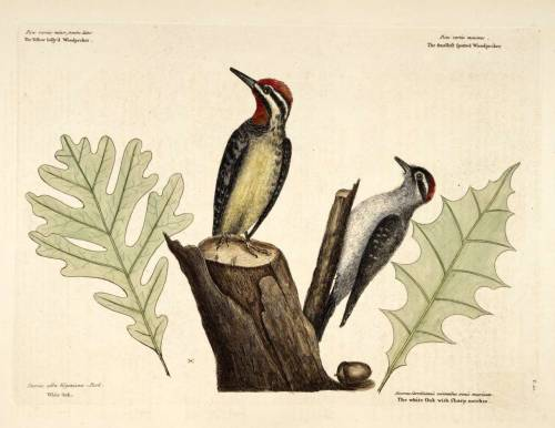 Quercus alba L. - white oak and woodpeckers Catesby, M., The natural history of Carolina, Florida, and the Bahama Islands, vol. 1: t. 21 (1754)