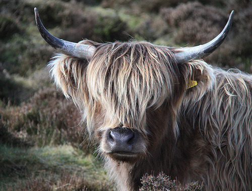 Highland Cattle (by Lynn1066)