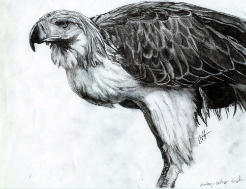 Pithecophaga jefferyi - Philippine Eagle by ~UndeterminedBreed