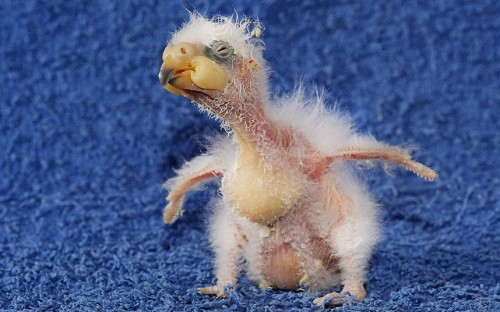 allcreatures:  A baby Nelson Kea or Mountain Parrot (Nestor notabilis) is seen at the Mountain Zoo in New Zealand Picture: Imago / Barcroft Media (via Animal pictures of the week: 6 April 2012 - Telegraph)