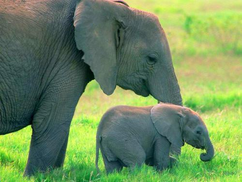 Oh my goodness, this is so adorable! I love elephants & baby elephants are particularly adorable.
