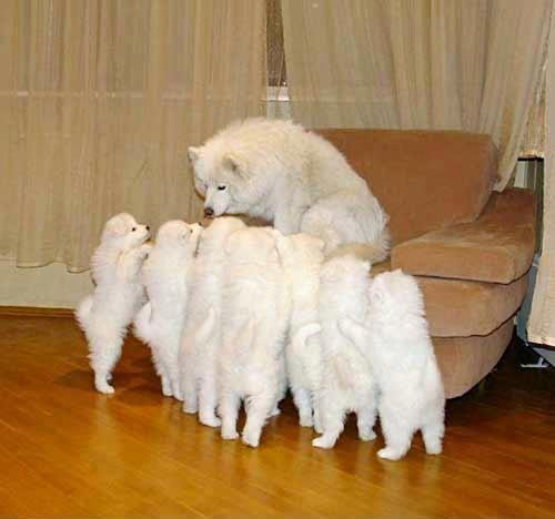 Samoyeds - I love.  They want their mommy.