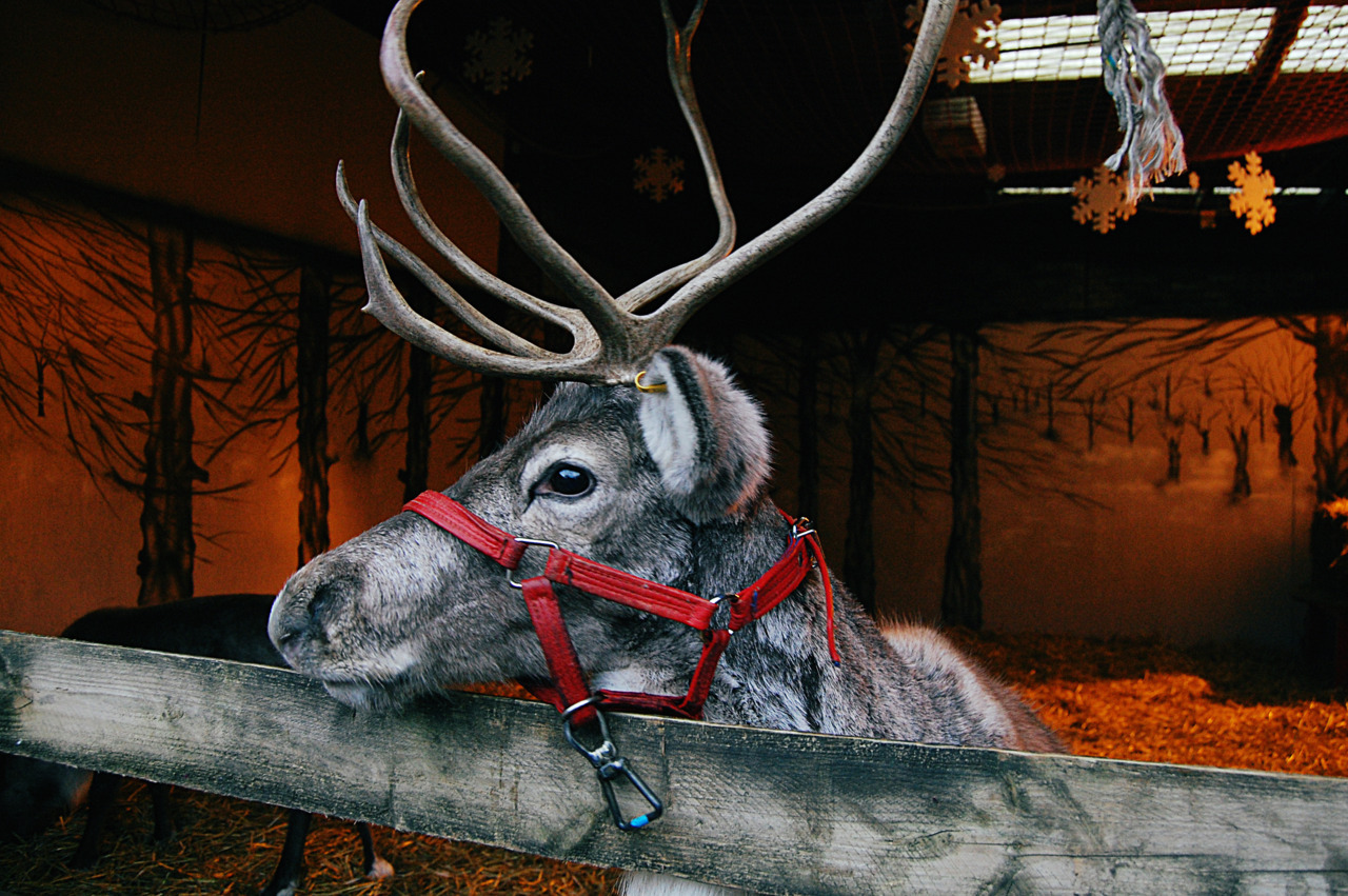 Reindeers are real.