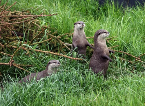 Otter Family Spruces Up Back Yard After Long Winter The MacBrooms, a family of otters living in Dundee, Scotland, finally got down to tending their overgrown back yard on Saturday afternoon. The lawn certainly needed mowing, but the flower beds and hedges demanded attention as well. Via Jan Zeschy, by way of The Daily Otter.