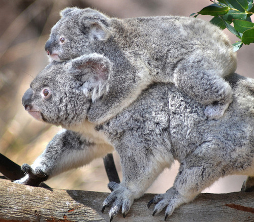 sdzoo:  Koala-back ride by Stinkersmell on Flickr.