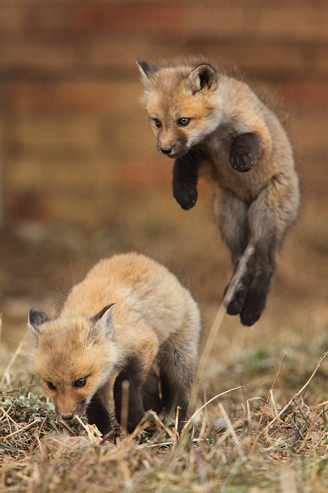 earthandanimals:  Red fox siblings at their cutest!
