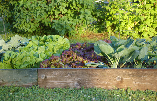 hopingtohomestead:  First-Time Vegetable Gardening for the Black-Thumbed