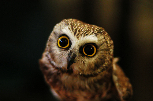 Saw-Whet Owl (by Nicole Corpuz)
