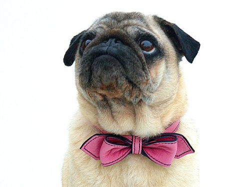 dogsinbowties:  This pink bow tie is perfect for girl pups. (And boys who like pink!) Buy this bow tie here. photo by Adam Yoblon