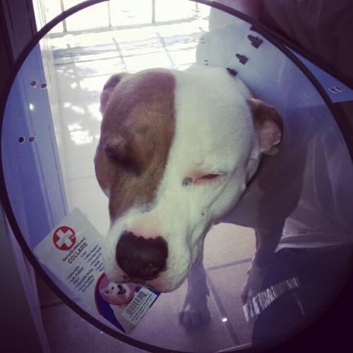 I hate u mama :P #pitbull #dog #cute  (Taken with instagram)
